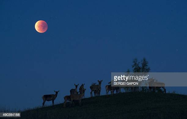 Reindeers are seen silhouetted against the 'blood moon' during a lunar eclipse near the village of Yavterishki some 250 kilometers north from Minsk...