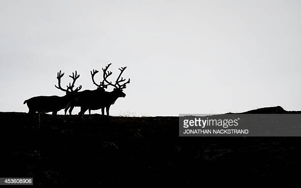 Reindeers can be seen during the first stage of the Arctic Race of Norway between Hammerfest and Nordkapp in Norway on August 14 2014 AFP...