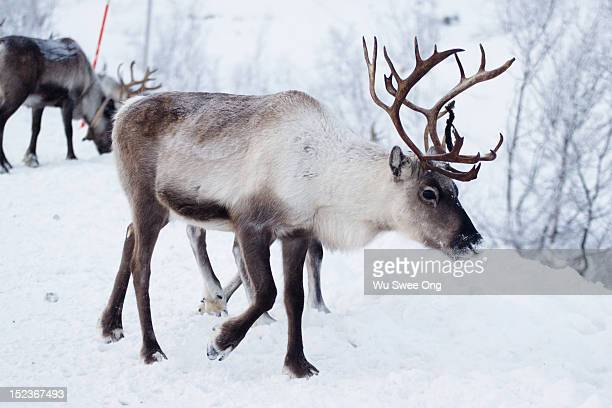 reindeers in norway - rentier stock-fotos und bilder