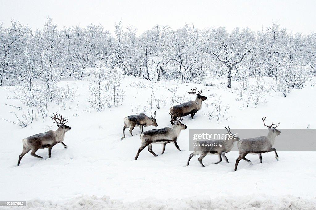 Reindeers in snow : Stock Photo