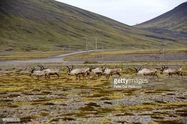 Reindeers near Hofn, Eastern Iceland