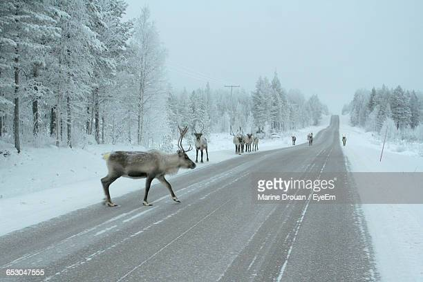 Reindeers On Road Amidst Trees During Winter