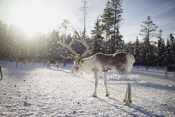 reindeers on snow covered field against sky - rentier stock-fotos und bilder