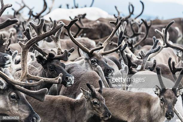 reindeers - reindeer stock pictures, royalty-free photos & images