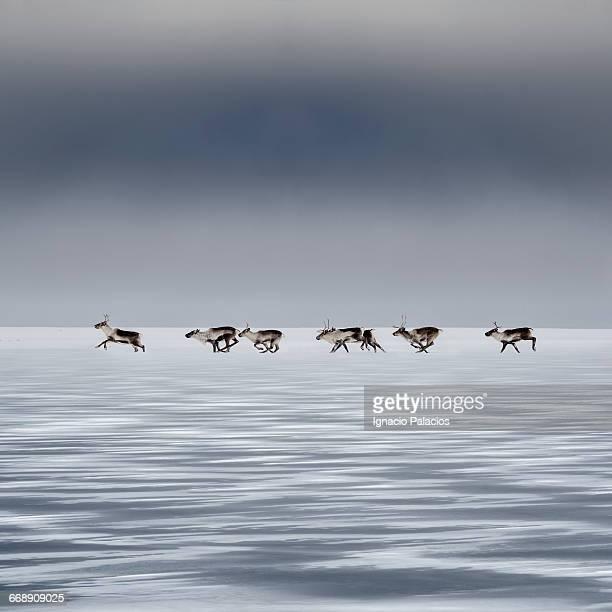 reindeers (caribour) rangifer tarandus in the snow - fauna selvatica foto e immagini stock