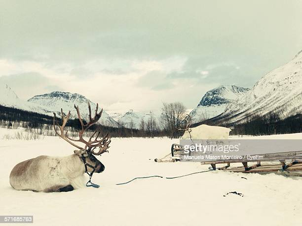 Reindeers With Sleds On Snow Covered Field By Mountains
