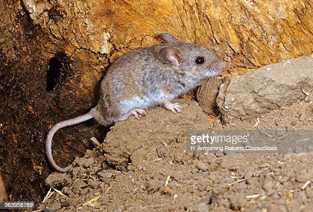 FIELD MOUSE...