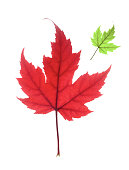 single autumnal red maple leaf with