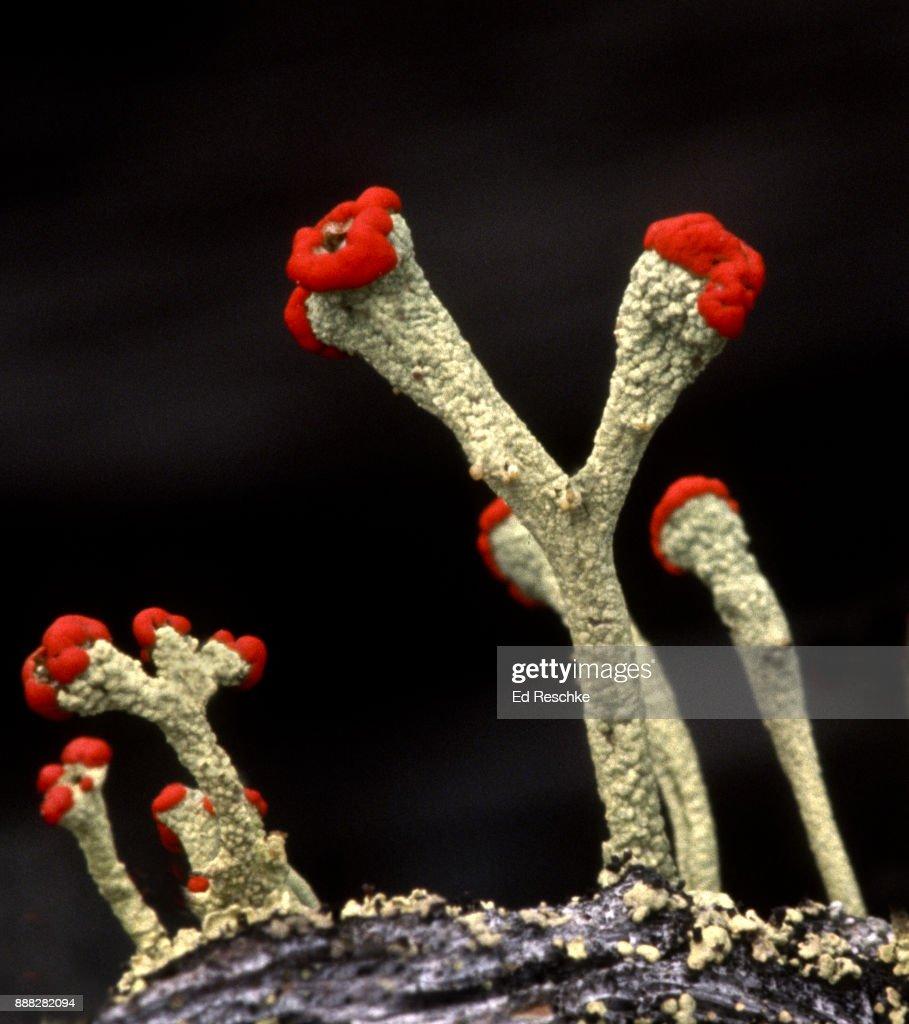SYMBIOTIC RELATIONSHIP--British Soldiers Lichen (Cladonia cristatella) a Fruticose Lichen. : Stock Photo