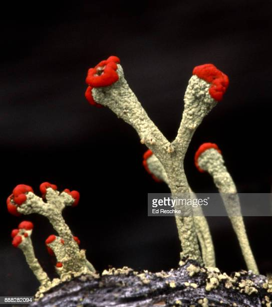 symbiotic relationship--british soldiers lichen (cladonia cristatella) a fruticose lichen. - ed reschke photography stock photos and pictures