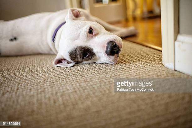 relaxed dog indoors - american pit bull terrier stock pictures, royalty-free photos & images