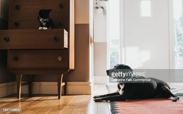 a relaxed dog lies on a rug, looking up at a curious young cat who stands in an open drawer. - animal behaviour stock pictures, royalty-free photos & images