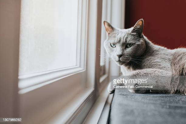 relaxed grey cat lying down beside a window - purring stock pictures, royalty-free photos & images