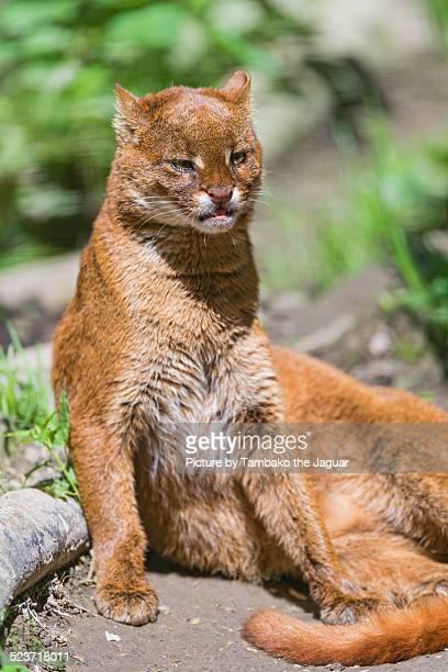 relaxed jaguarundi - yaguarondi foto e immagini stock