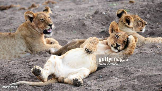 relaxed lion cub - lion cub stock photos and pictures