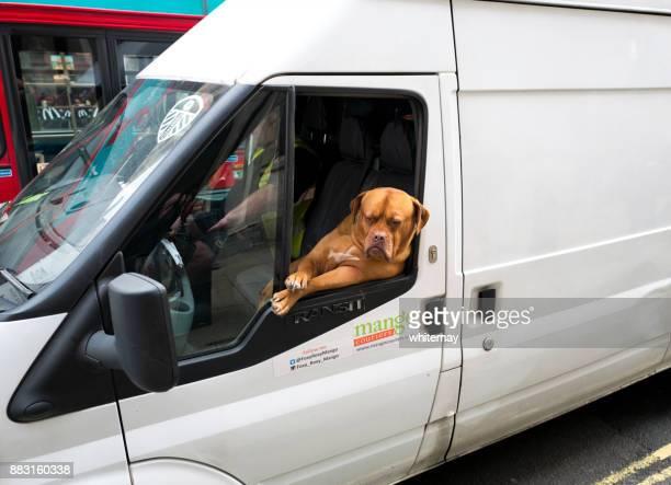 Entspannte Dogge Roxy, bei der Arbeit in London