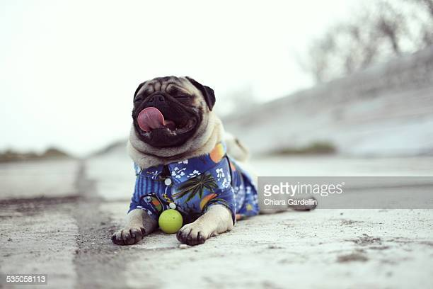 Relaxed Pug