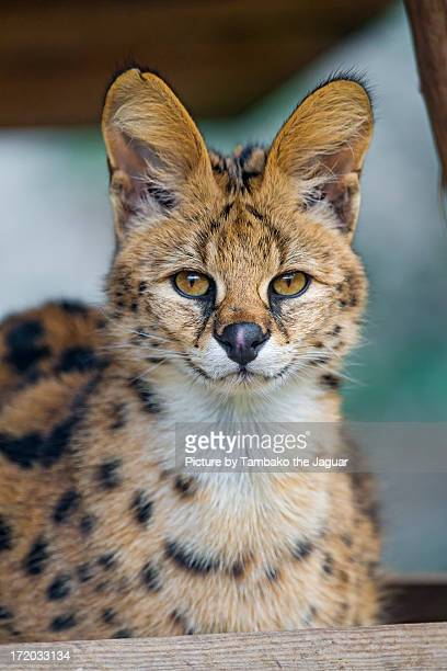 Relaxed serval