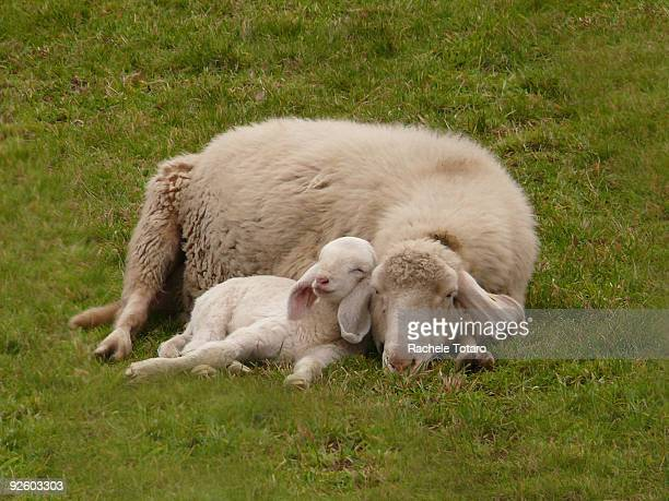 relaxed smiling lamb sleeping with mum - sheep stock pictures, royalty-free photos & images