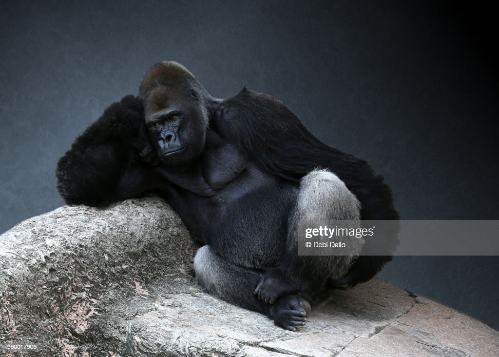 Relaxing Adult Male Gorilla : Stock-Foto