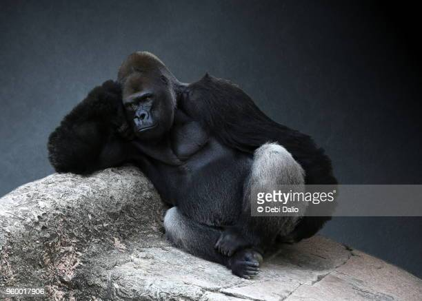 relaxing adult male gorilla - gorilla stock pictures, royalty-free photos & images