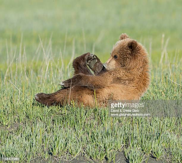 Relaxing Brown Bear cub