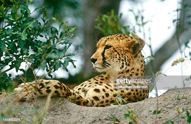 Relaxing Cheetah Londolozi South Africa Africa