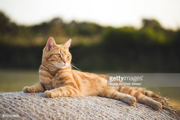 relaxing evening cat - shorthair cat stock pictures, royalty-free photos & images