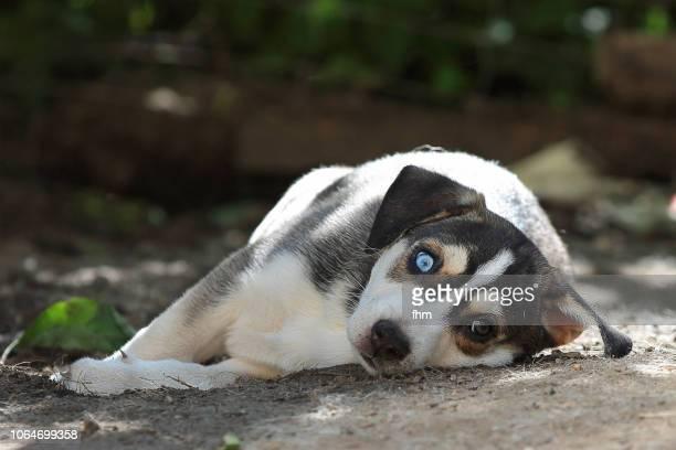 Relaxing husky puppy
