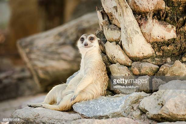 relaxing meerkat. - one animal stock pictures, royalty-free photos & images
