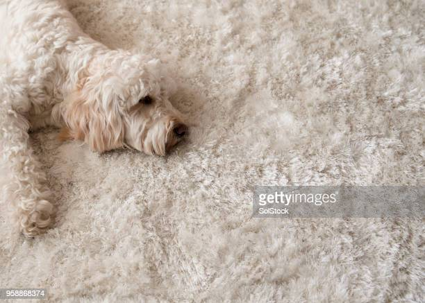 relaxing on the rug - fur stock pictures, royalty-free photos & images