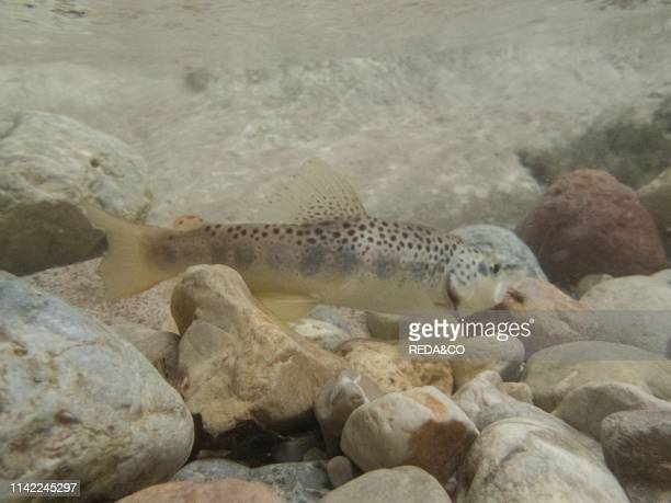 Release of a brown trout in a alpin stream Ala river Vallagarina Trentino Italy Europe