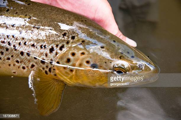 releasing a brown trout - brown trout stock pictures, royalty-free photos & images