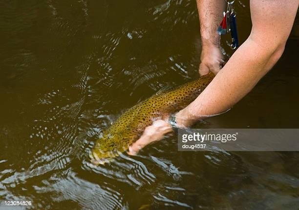 releasing big trout - brown trout stock pictures, royalty-free photos & images