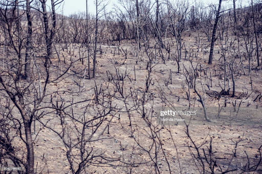Remains of a wooded area after a forest fire : Stock Photo