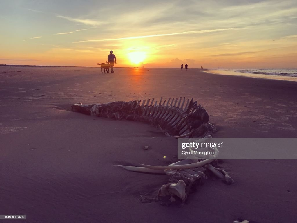 Remains of an Alligator Skeleton Washed up at Sunrise on a Beach : Foto de stock