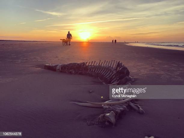 remains of an alligator skeleton washed up at sunrise on a beach - animal skeleton stock photos and pictures