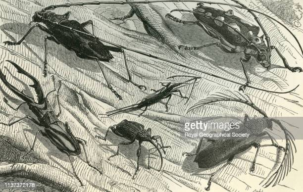 Remarkable beetles found at Simunjon Borneo Top to bottom left to right Neocerambyx aeneas Cladognathus tarandus Diurus furcellatus Ectatorhinus...