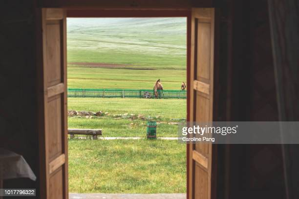 Remarkable view from the inside of a tourist ger camp in Mongolia. Bactrian camel is seen grazing over the fence.