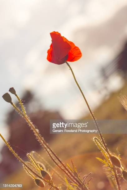 remembrance poppy - geraint rowland stock pictures, royalty-free photos & images