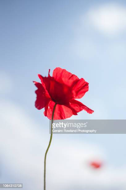 remembrance sunday, england - remembrance day stock pictures, royalty-free photos & images