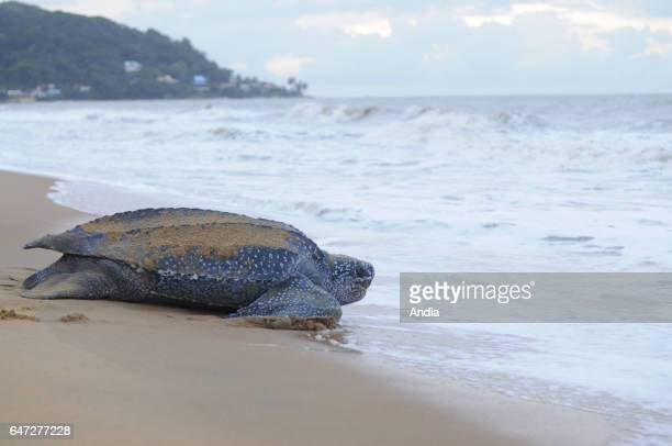 RemireMontjoly leatherback sea turtle going to the ocean after having laid her eggs on the beach