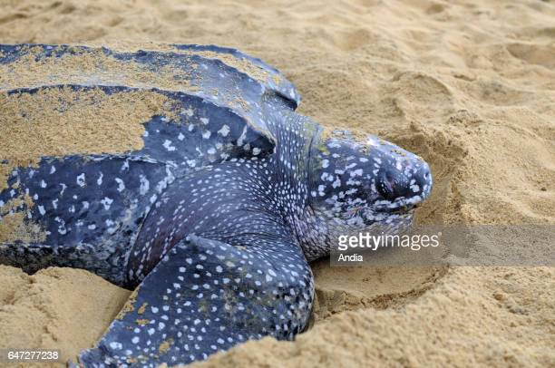 RemireMontjoly leatherback sea turtle laying eggs in the beach and hiding them in the sand sheltered from predators