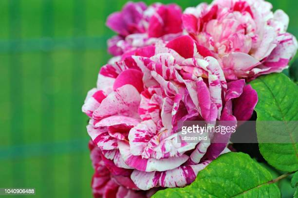 Ganz und zu Extrem 17 Shrub Rose Rosa Ferdinand Pichard Pictures, Photos & Images @SO_98