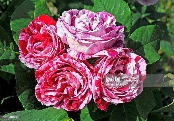Beliebt Bevorzugt 17 Shrub Rose Rosa Ferdinand Pichard Pictures, Photos & Images #GM_54