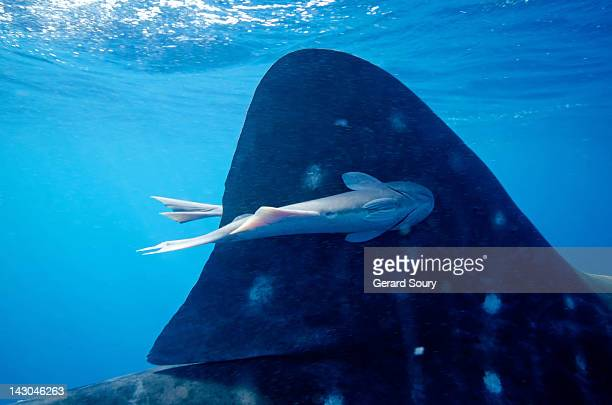 remora stuck on a whale shark dorsal fin - symbiotic relationship stock pictures, royalty-free photos & images