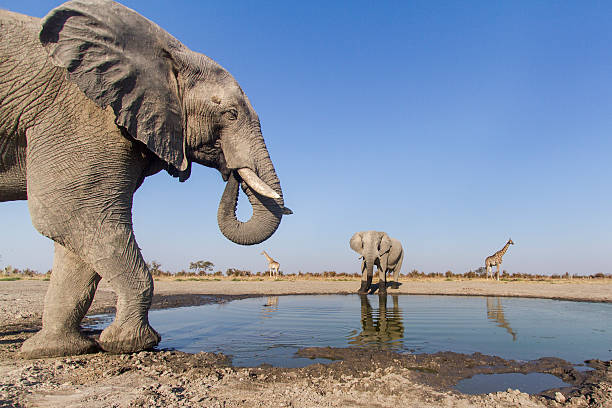 Remote Camera View of African Elephants, Botswana
