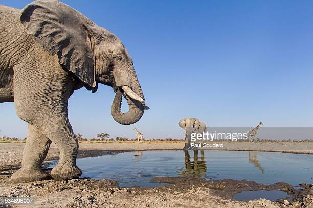 remote camera view of african elephants, botswana - botswana stock pictures, royalty-free photos & images