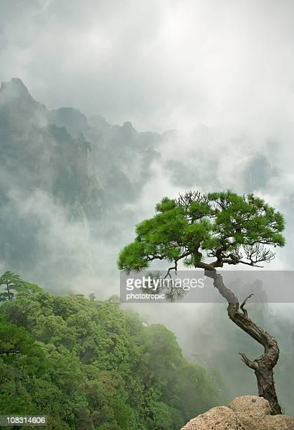 Isolado único Pinheiro Huangshan