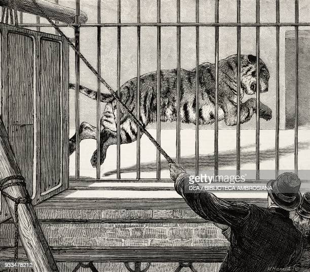Removing the big male tiger to his new quarters Zoological Gardens London United Kingdom illustration from the magazine The Graphic volume XIII no...